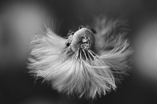 dandelion-4217590_640
